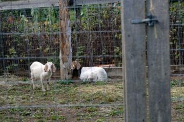 Parkerosa Farms Goats