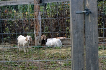 Parkerosa Farms Goats