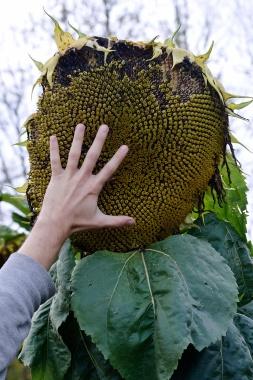 Parkerosa Farms Sunflower