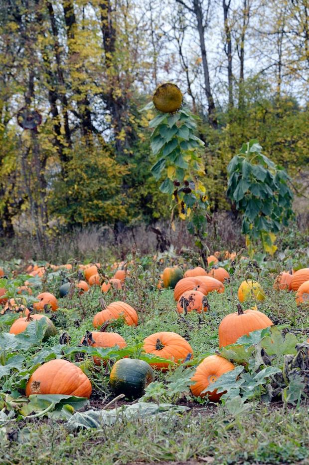 Parkerosa Farms Sunflowers 2