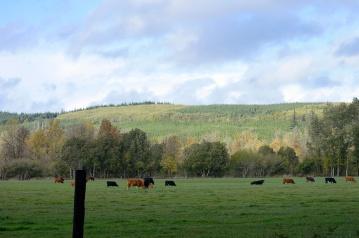 Willapa Hills Farm Cows